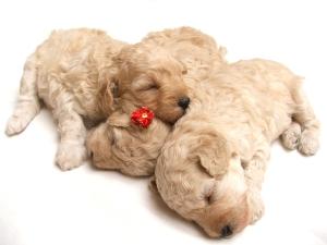 ADA puppies