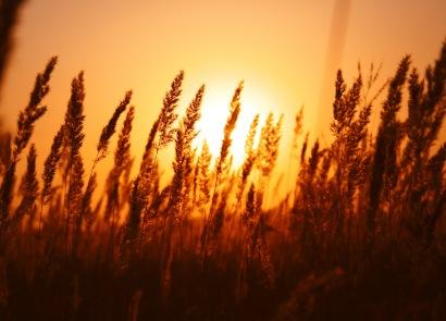 wheatsunset